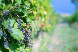 UBC Okanagan professors explain the science of wine