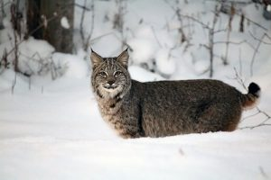 Copy cats: When is a bobcat not a bobcat?