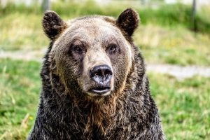 Grizzlies change habits to coexist with people—but is it enough?
