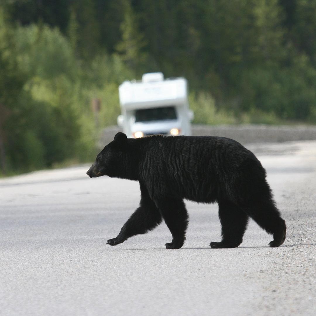 Bear crossing highway